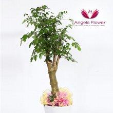 행복나무 대형 관엽식물 공기정화 꽃배달