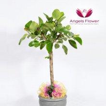 뱅갈고무나무 대형관엽식물 공기정화꽃배달