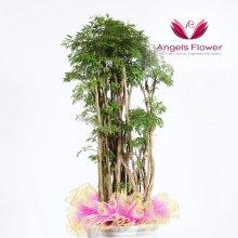 폴리샤스 대형 관엽식물 공기정화 꽃배달