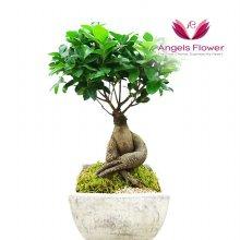 인삼벤자민 일반형관엽식물 공기정화꽃배달