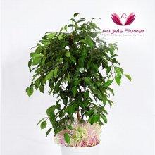킹벤자민 대형 관엽식물 공기정화 꽃배달