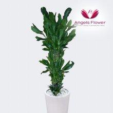 황금죽 대형 관엽식물 공기정화 꽃배달