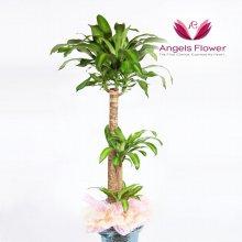 행운목 대형 관엽식물 공기정화 꽃배달