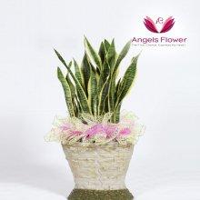 산세베리아 일반형관엽식물 공기정화꽃배달