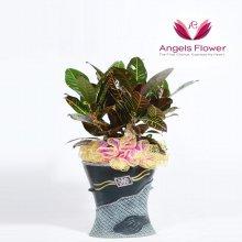 클로톤 일반형 관엽식물 공기정화 꽃배달